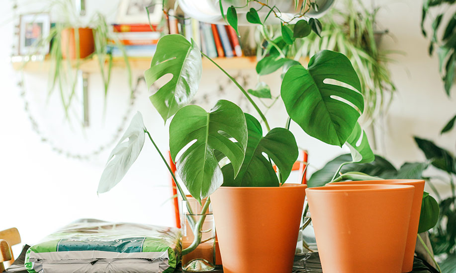 5 Cara Merawat Tanaman Indoor
